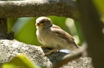 HSNP Fountain St Baby Sparrow in Magnolia Tree