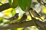 HSNP Fountain St Baby Sparrows Feeding in Magnolia Tree