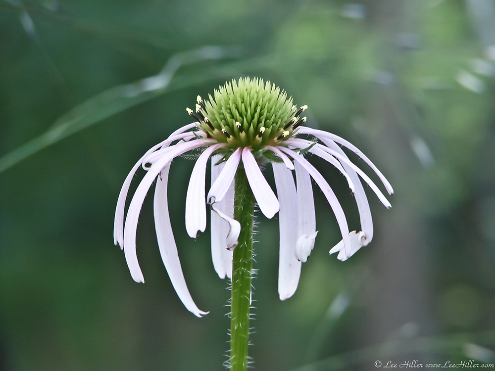 26 may 2013 hike our planet hikeourplanet hsnp gulpha gorge trail cone flower mightylinksfo