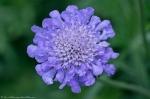 HSNP Arlington Lawn Purple Blossom