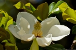 HSNP Southern Magnolia