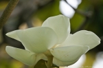 HSNP Arlington Lawn Southern Magnolia