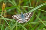 HSNP Carriage Road Common Checkerd Skipper Butterfly