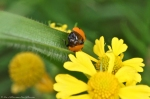 HSNP Carriage Road Lady Bug & Sneezeweed