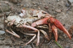 HSNP Short Cut Trail Crab