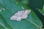 HSNP Fountain St Lawn Moth