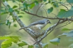 HSNP Hot Springs National Mt Trail Tufted Titmouse