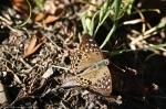 HSNP Peak Trail Hackberry Emperor Butterfly