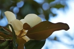 HSNP Southern Magnolia Bud