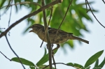 HSNP Singing Female House Sparrow