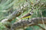 Malvern, AR Couch's King Flycatcher
