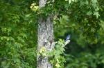 Malvern, AR Eastern Bluebird