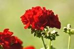Malvern, AR Red Geranium