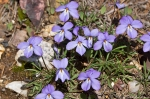 HSNP Birds-Foot Violet