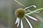 HSNP Cone Flower