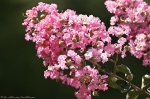 HSNP Hot Springs Fountain St Pink Crepe Myrtle