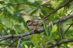 HSNP Arlington Lawn Male House Sparrow