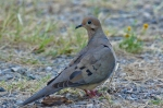 HSNP Carriage Road Mourning Dove