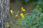HSNP Dead Chief Trail Woodland Sunflower