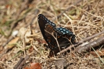 HSNP The Fountain Red Spotted Purple Butterfly