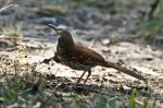 HSNP Hot Springs Mt Trail Brown Thrasher