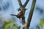 HSNP Hot Springs Mt Trail Carolina Wren