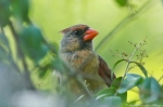HSNP Hot Springs Mt Trail Female Cardinal
