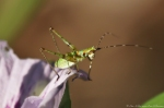 HSNP Hot Springs Mt Trail Green Insect on Butterfly Pea