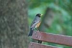 HSNP Promenade Summer Robin