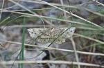 HSNP Goat Rock Trail Moth