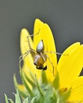 HSNP Gulpha Gorge Trail Spider? on Woodland Sunflower