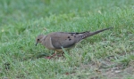 HSNP Promenade Mourning Dove
