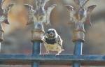 HSNP Promenade House Sparrow