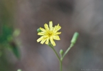 HSNP Floral Trail Hairy Hawkweed
