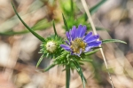 HSNP Floral Trail Purple Aster