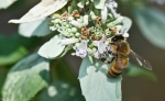 HSNP North Mt Loop Mountain Mint w/ Bee
