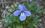 HSNP Hot Springs Mt Trail Bird Footed Violet