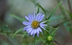 HSNP Hot Springs Mt Trail Purple Aster