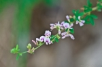 HSNP Hot Springs Mt Trail Violet Bush Clover