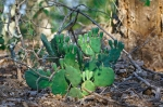 HSNP North Mountain Cactus