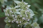 HSNP Upper Dogwood trail Mountain Mint
