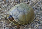HSNP Goat Rock Trail Box Turtle