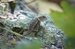 HSNP Goat Rock Trail Fence Lizard