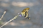 HSNP Goat Rock Trail Giant Swallowtail Butterfly