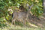 HSNP Whitetail Doe Deer