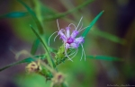 HSNP Blazing Star Wildflower