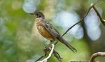 HSNP Juvenile American Robin