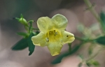 HSNP Yellow False Foxglove Wildflower