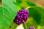 HSNP American Beauty Berry