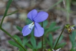 HSNP Bird Foot Violet Wildflower